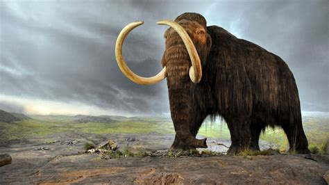 What doomed mammoths on a remote Alaskan island? | Science