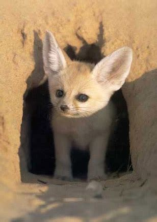 Egypt Picture - Fennec Fox